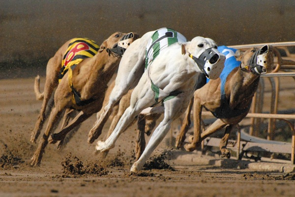 ARC has entered a joint venture with Entain to revamp British greyhound racing.